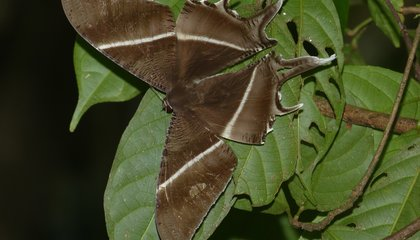 Giant Moths Have Descended on Malaysia, And No One Knows Why