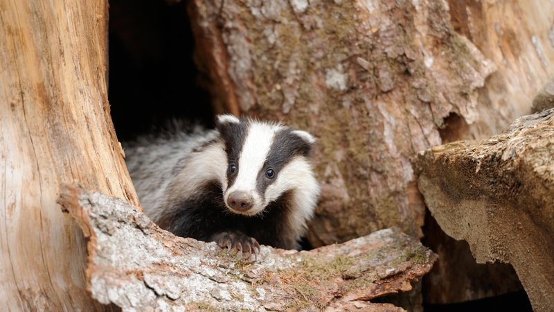 Can living the life of a badger teach us about ourselves?