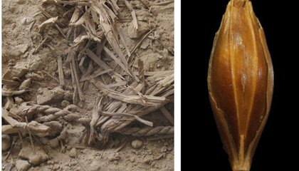 After 6,000 Years of Farming, Barley Is Still (More or Less) the Same