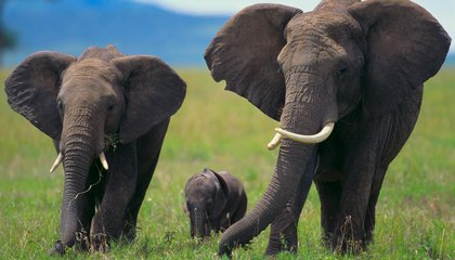This Gene Might Be Why Elephants' Don't Get Cancer
