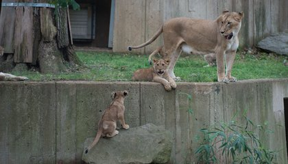 Lion cubs at the National Zoo.