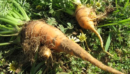 A 'New Dawn' for Ugly Vegetables