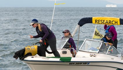 Meet the Dogs Sniffing Out Whale Poop for Science