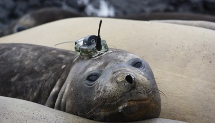 Seals Are Scientists' Little Helpers for Collecting Ocean Data