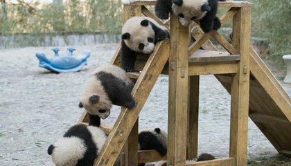 Shockingly, Pandas That Like Each Other Have More Babies Together