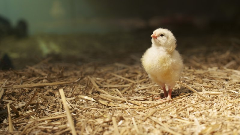 A young chicken in Germany is one adorable example of a genetically modified organism.