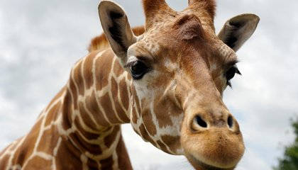 There Are Four Giraffe Species—Not Just One