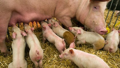 Female Pigs Respond Differently to Batches of Sperm Carrying Mostly X Or Mostly Y Chromosomes