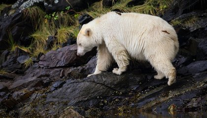 This Rare, White Bear May Be the Key to Saving a Canadian Rainforest