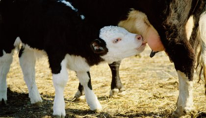 New Way to Wean Calves Leaves Them Happier and Healthier