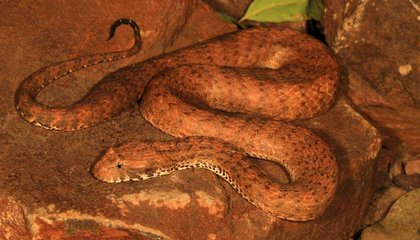 Yet Another Highly-Venomous Snake Discovered in Australia