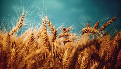 "New Self-Sustaining ""Wheat"" Could Change the Farming Industry"