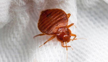 A Bedbug Trap That Might Actually Work