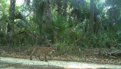 Panther Kittens Spotted in Florida Give Hope for Their Species' Survival