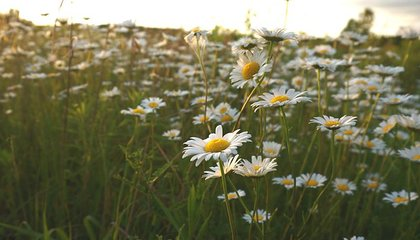 Dinosaurs May Have Lived (and Died) Among Ancient Daisies