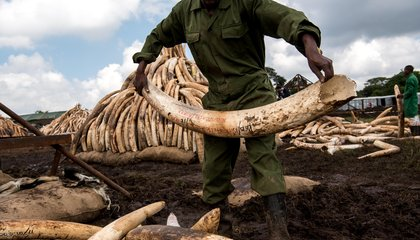 Most Ivory for Sale Comes From Recently Killed Elephants—Suggesting Poaching Is Taking Its Toll