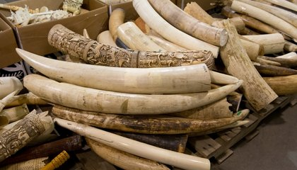 Why Everyone From Conservationists to Yao Ming to Andrew Cuomo Supports Banning Ivory Sales
