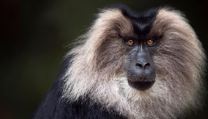 These Intense Photos of Lion-Tailed Macaques Will Turn You Into a Conservationist