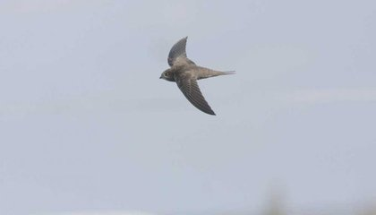 Swifts Spend Nearly a Year on the Wing
