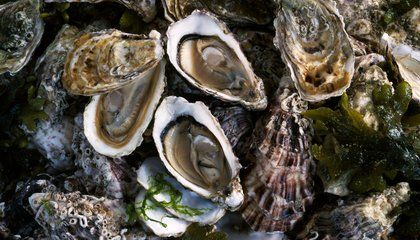 Oysters Could Save Staten Island From the Next Hurricane Sandy