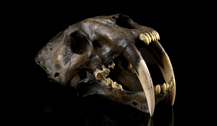 How Did Sabercats Use Their Fangs?