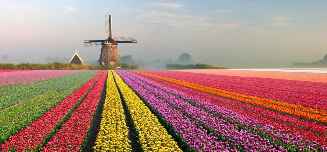 Dutch landscape of tulip fields