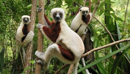 Why People Turn to Lemurs and Other Endangered Animals for Dinner in Madagascar