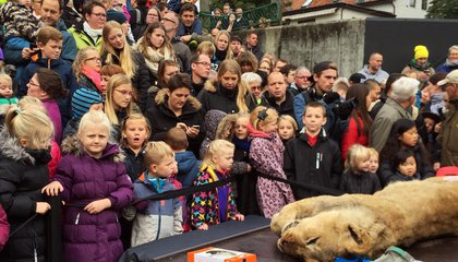 Why a Denmark Zoo Publicly Dissected a Lion