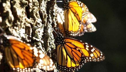 Five Surprises That Emerged From Monarch Butterfly Genomes