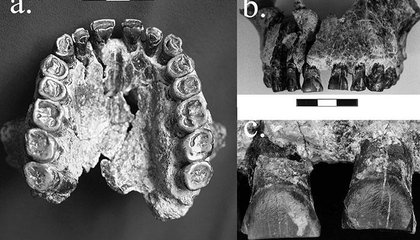Two-Million-Year-Old Jaw Has a Lot to Say About the Origins of Human Handedness