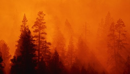 With Wildfire Still Burning in Yosemite, Sequoias, At Least, Are Safe