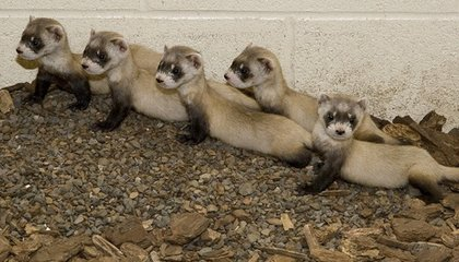 Black-Footed Ferrets and Other Endangered Critters