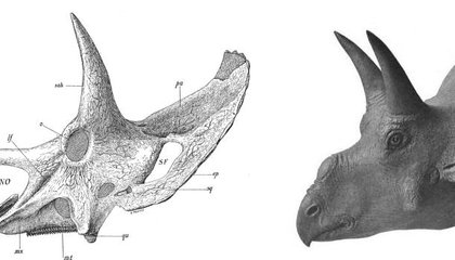 Restoring Nedoceratops: Gored by a Horned Rival?