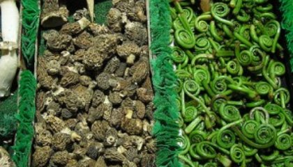 Spring Flavors: Ramps, Morels and Fiddleheads