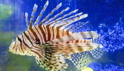 Eat Fish, Save Our Ocean? Lionfish as Sustainable Seafood