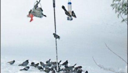 Winter Birds: Saved by the Suet?