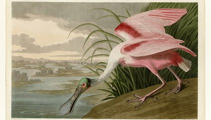 Rare Copy of Audubon's Birds of America for Sale