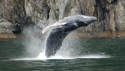 Humpback Whale Songs Spread From West to East