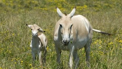 Two New Onagers Born Thanks to Artificial Insemination