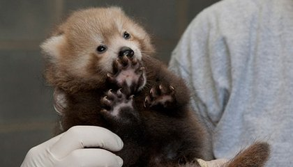 Four New Red Panda Cubs at the National Zoo