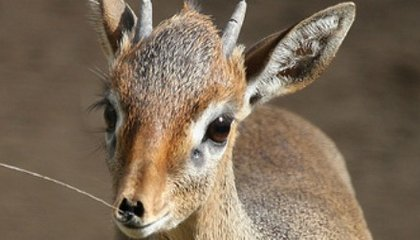 What In The World Is A Dik-dik?