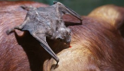How Vampire Bats Find A Vein