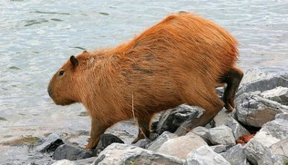 What In The World Is A Capybara?