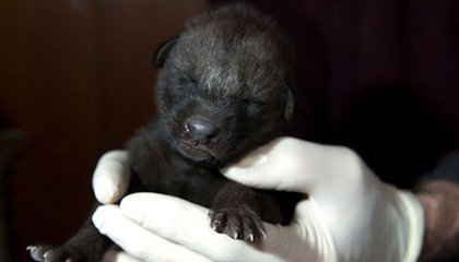 Adorable Photos of the National Zoo's Rare Maned Wolf Pups