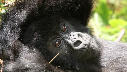 Did Africa's Apes Come From Europe?