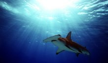 A Great Hammerhead Gliding Through the Shallows, South Bimini, Bahamas