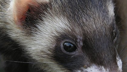 How to Give a Ferret a Deadly Flu