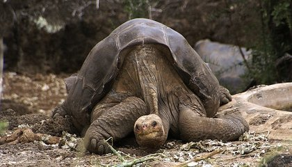 The Last of His Kind, Tortoise Lonesome George Dies, Leaving No Offspring