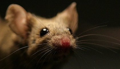 The Persistence of Memory in Mice