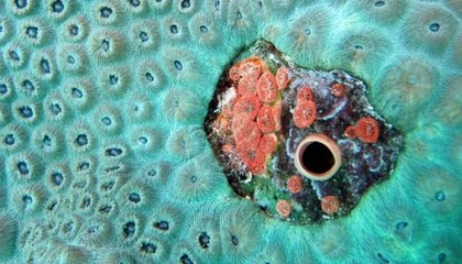Drill, Baby, Drill: Sponges Bore Into Shells Twice as Fast in Acidic Seawater